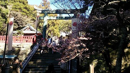 久能山東照宮の寒桜